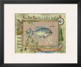 Blue-Gilled Sunfish Posters by Anita Phillips