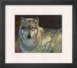 Uninterrupted Stare: Gray Wolf Print by Joni Johnson-godsy