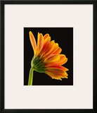 Gerbera Daisy Prints by Richard Reynolds