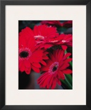 Red Gerbera Daisies I Prints by Erin Berzel