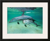 Dolphins Prints by  Hubert & Klein
