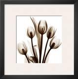 Tulip in Sienna Prints by Albert Koetsier