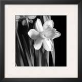 Daffodil Prints by Darlene Shiels