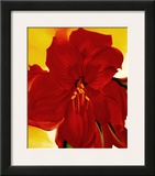 Red Amaryllis, 1937 Prints by Georgia O'Keeffe