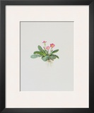 Ordinary Stipeless Primrose Print by Moritz Michael Daffinger