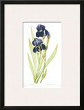 Redoute Iris Germanica Prints by Pierre-Joseph Redouté