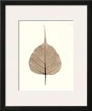 India Ficus Print by Alan Blaustein