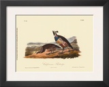 California Partridge Print by John James Audubon