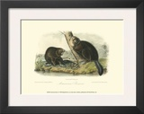 American Beaver Prints by John James Audubon