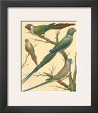 Cassell's Parakeets III Prints by  Cassell