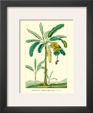 Banana Tree, Botanical Illustration, c.1855 Poster by Ch. Lemaire