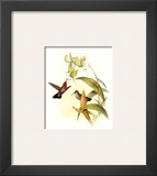 Small Gould Hummingbird IV Posters by John Gould