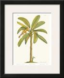 Banana Tree, 18th Century Prints by Georg Dionysius Ehret
