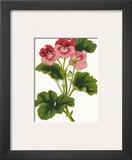 Pink Geranium I Art by  Van Houtt