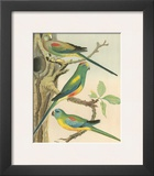 Cassell's Parakeets II Posters by  Cassell