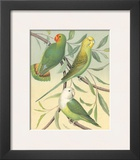 Cassell's Parakeets I Prints by  Cassell