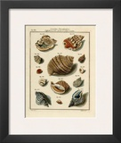 Conchylien Cabinet II Print by W. Martini