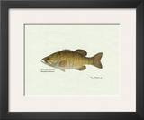 Smallmouth Bass Fish Posters by Ron Pittard