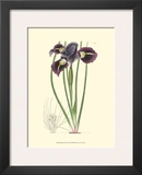 Elegant Iris II Prints by Samuel Curtis