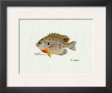 Bluegill Fish Art by Ron Pittard