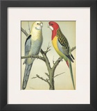 Cassell's Parrots I Art by  Cassell