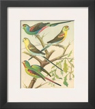 Cassell's Parakeets IV Posters by  Cassell