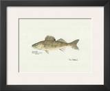Walleye Fish Posters by Ron Pittard