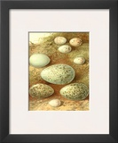 Bird Egg Collection II Poster