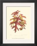 Scarlet Oak Poster by  Sprague