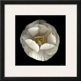 Folded Ranunculus Print by Neil Seth Levine