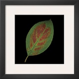 Hydrangea Leaf on Black Posters by June Hunter