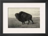 American Bison Prints by R. Hinshelwood