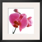 Pink Orchid Prints by Cédric Porchez