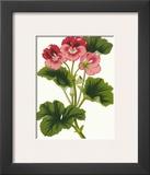 Pink Geranium I Prints by  Van Houtt