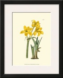 Yellow Narcissus I Print by  Van Houtt