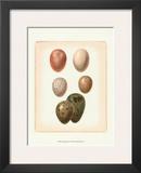 Bird Egg Study VI Poster