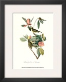 Vireo Prints by John James Audubon
