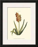 Antique Hyacinth XV Art by Christoph Jacob Trew