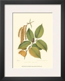 Black Birch Prints by  Sprague