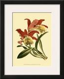 Orchid Splendor IV Print
