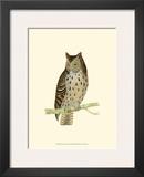 Mottled Owl Print by Reverend Francis O. Morris