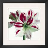 Amaryllis Prints by Stephanie Andrew