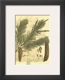 Antique Weymouth Pine Tree Poster by  John Miller (Johann Sebastien Mueller)