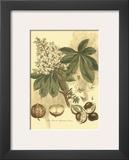 Antique Horse Chestnut Tree Posters by  John Miller (Johann Sebastien Mueller)