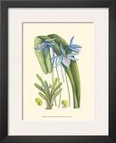 Periwinkle Blooms IV Print by Samuel Curtis