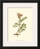 Native Beauty IV Print by Louis Prang