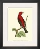 Crimson Birds III Poster by Frederick P. Nodder