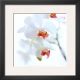White and Pink Orchid Poster by Cédric Porchez