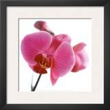 Pink Orchid Print by Cédric Porchez