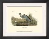 Blue Heron Prints by John James Audubon